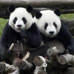 Смешные панды — фото