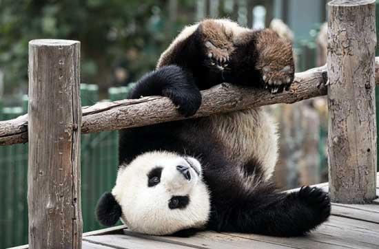 Смешные панды - фото