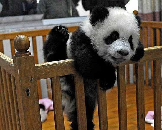 Фото прикольных панд